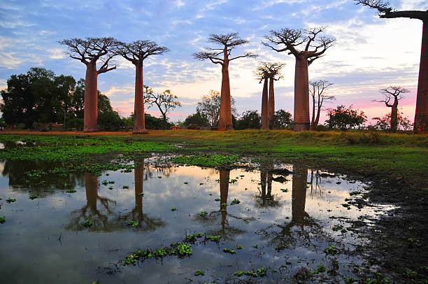 Alley of the Baobabs - pond reflection at dusk stock photo