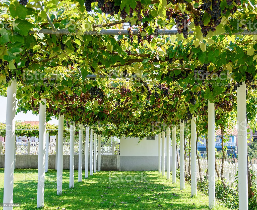 Alley with grape vine-covered pergola royalty-free stock photo - Alley With Grape Vinecovered Pergola Stock Photo & More Pictures Of