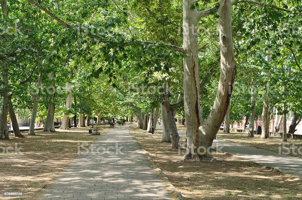 Alley with sycamore. stock photo
