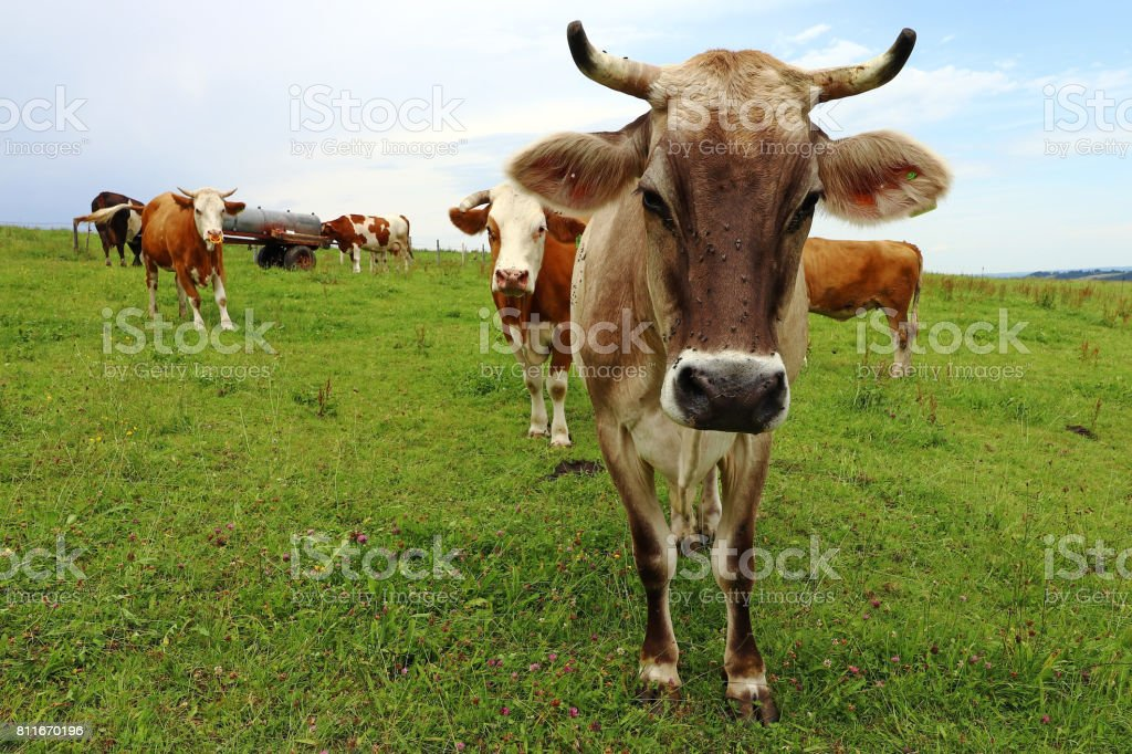 Allgäu brown cattle with horns on a pasture stock photo