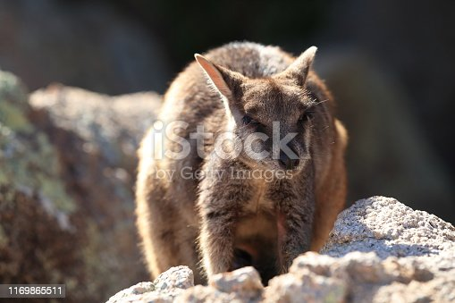 allied rock-wallaby , Petrogale assimilis Magnetic Island in Queensland,