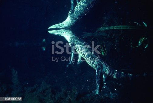 alligator underwater standing on its feet to rest and breathe