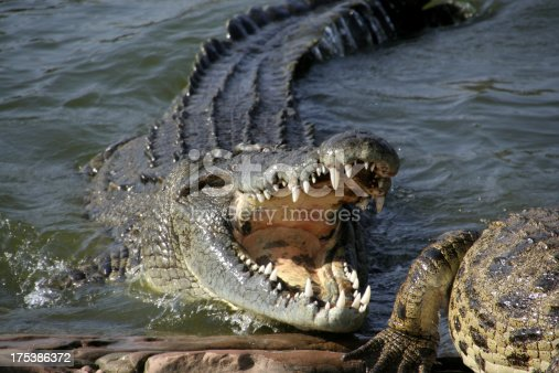 Angry alligator with sharp teeth at alligator farm in Zambia Africa.