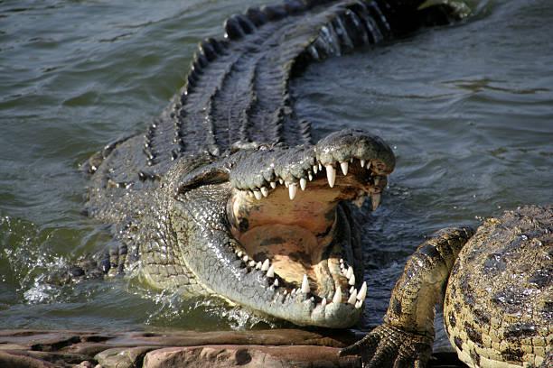 Alligator sur le pouce - Photo