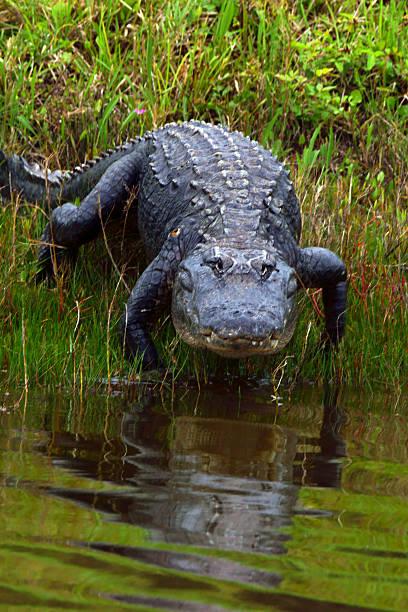 Alligator marais de Floride - Photo