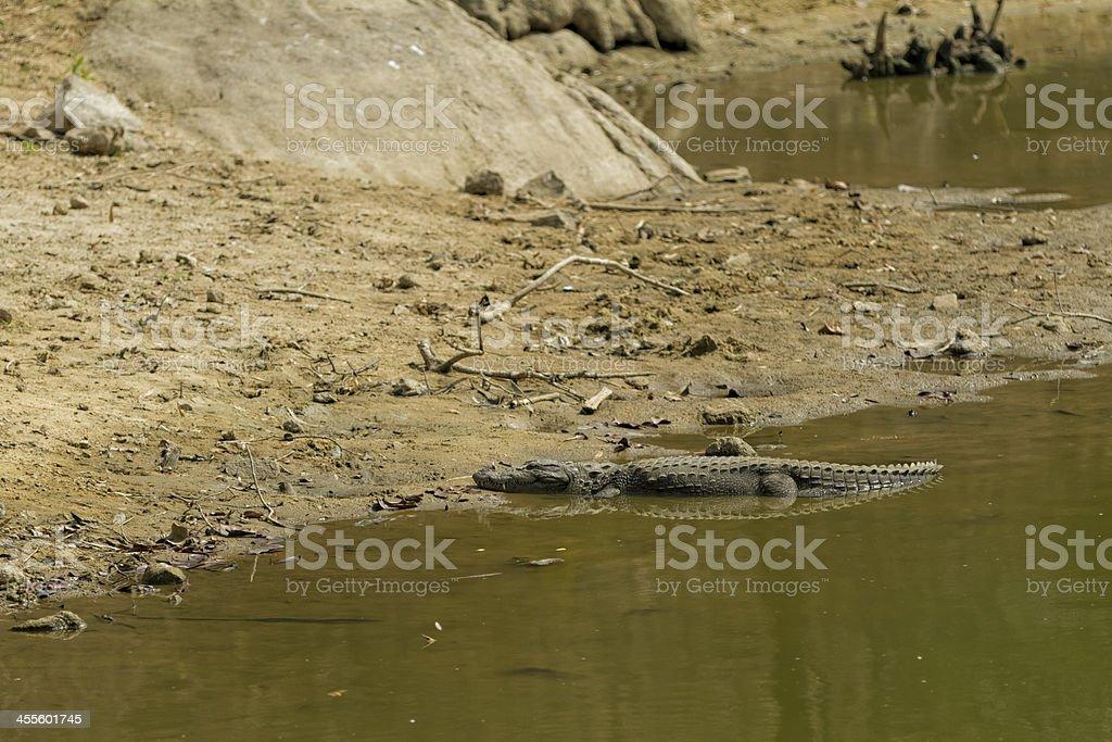 Alligator basking in the sun stock photo