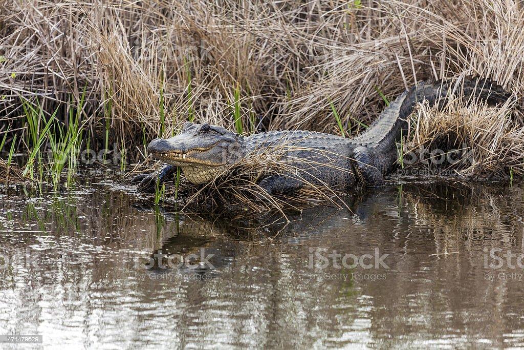 Alligator beside a pond stock photo