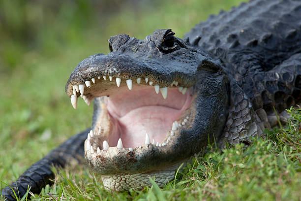 alligator-cas - dents des animaux photos et images de collection