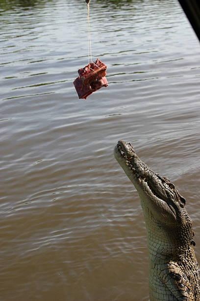 Alligator Bites Meat Shot 1 stock photo