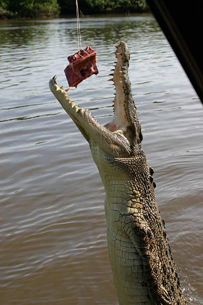 Alligator Bites Meat Shot 2 stock photo