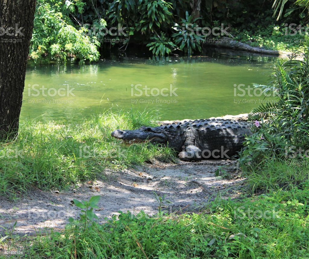 Alligator by side of pond stock photo