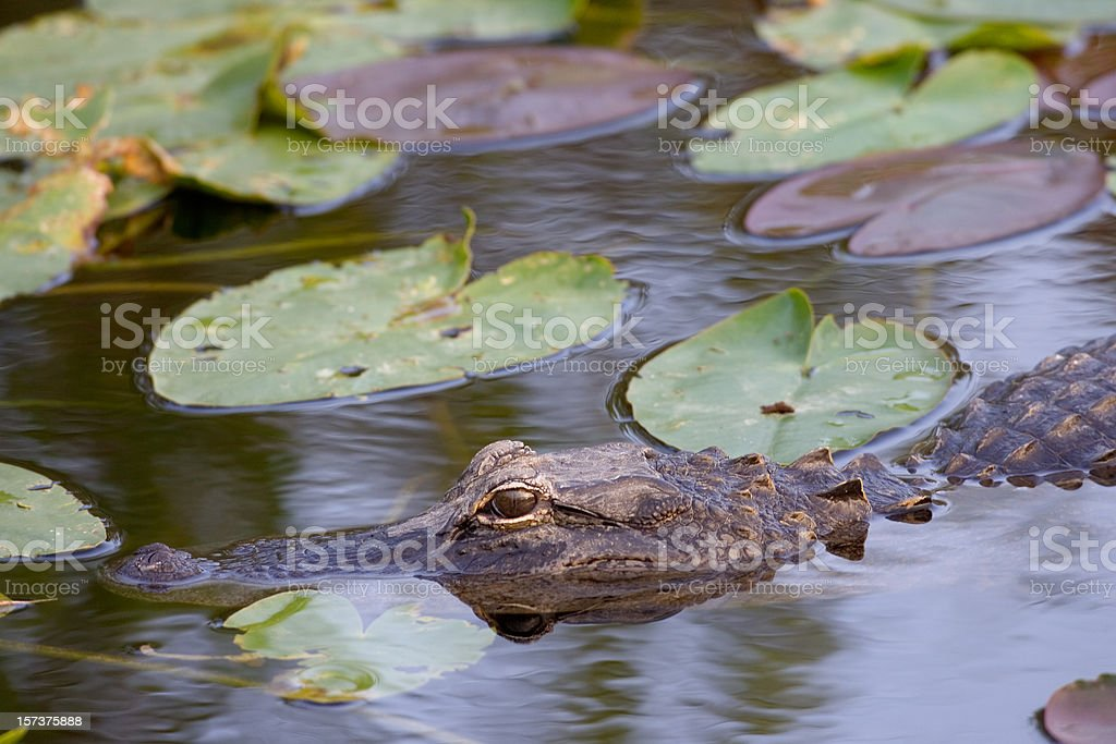 Alligator Close Up and Lily Pads stock photo