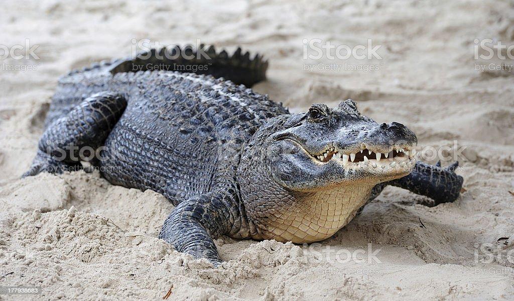 Alligator closeup on sand royalty-free stock photo