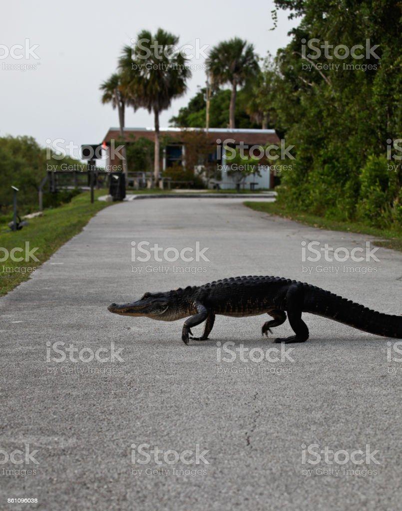 Alligator Crossing the road stock photo