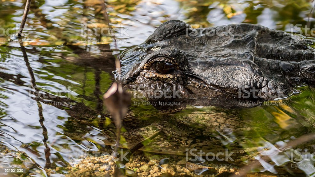 Alligator Eye, Everglades National Park, Florida stock photo