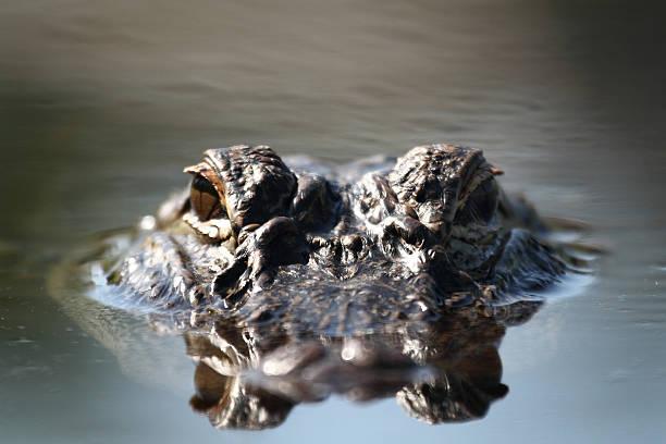 Alligator eyes stock photo