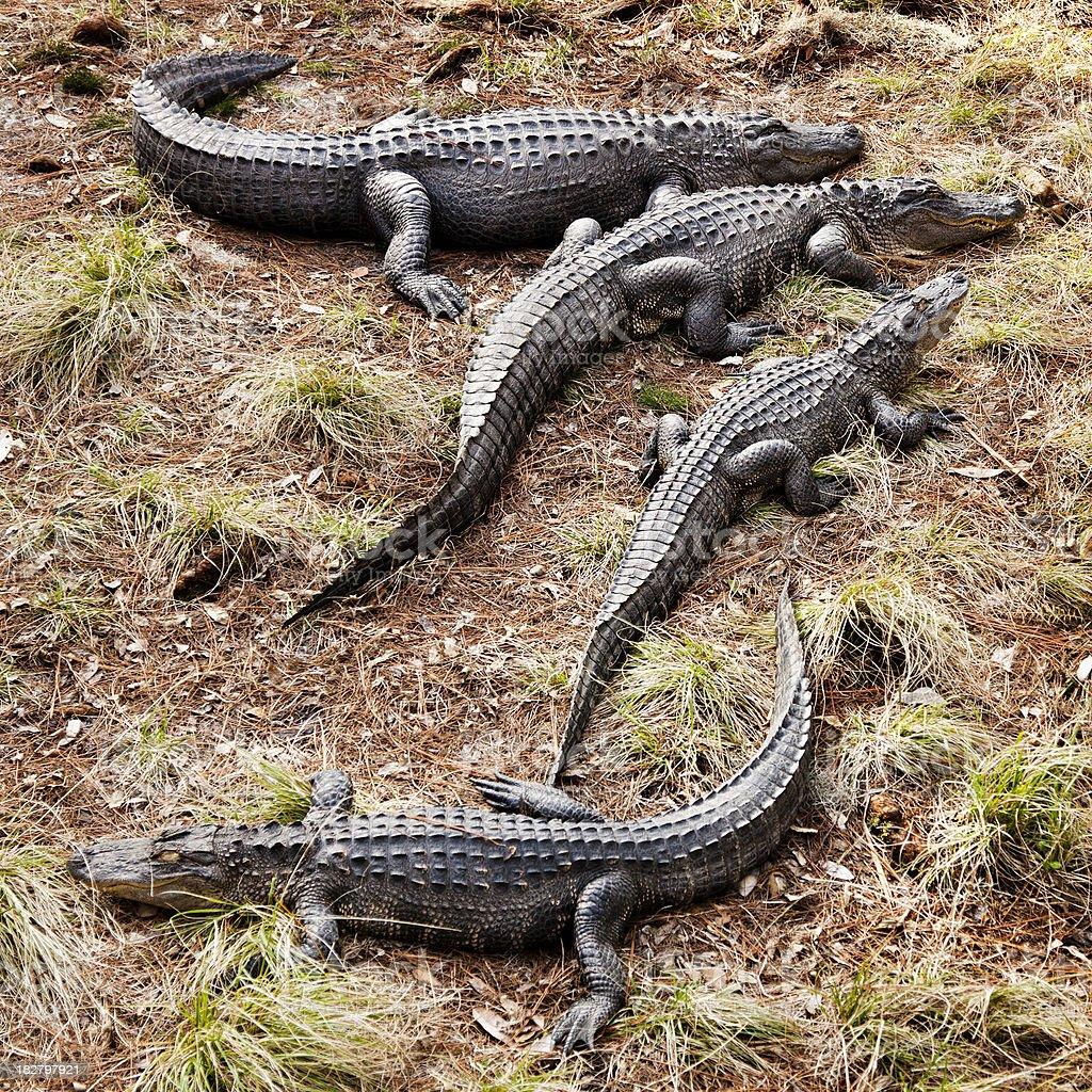 Alligator family stock photo