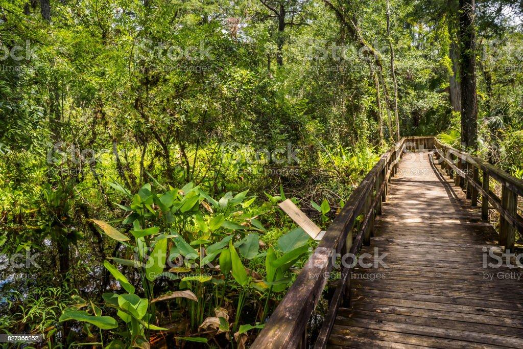 Bandeira de jacaré - Thalia geniculata. Cypress grande curva Boardwalk - foto de acervo