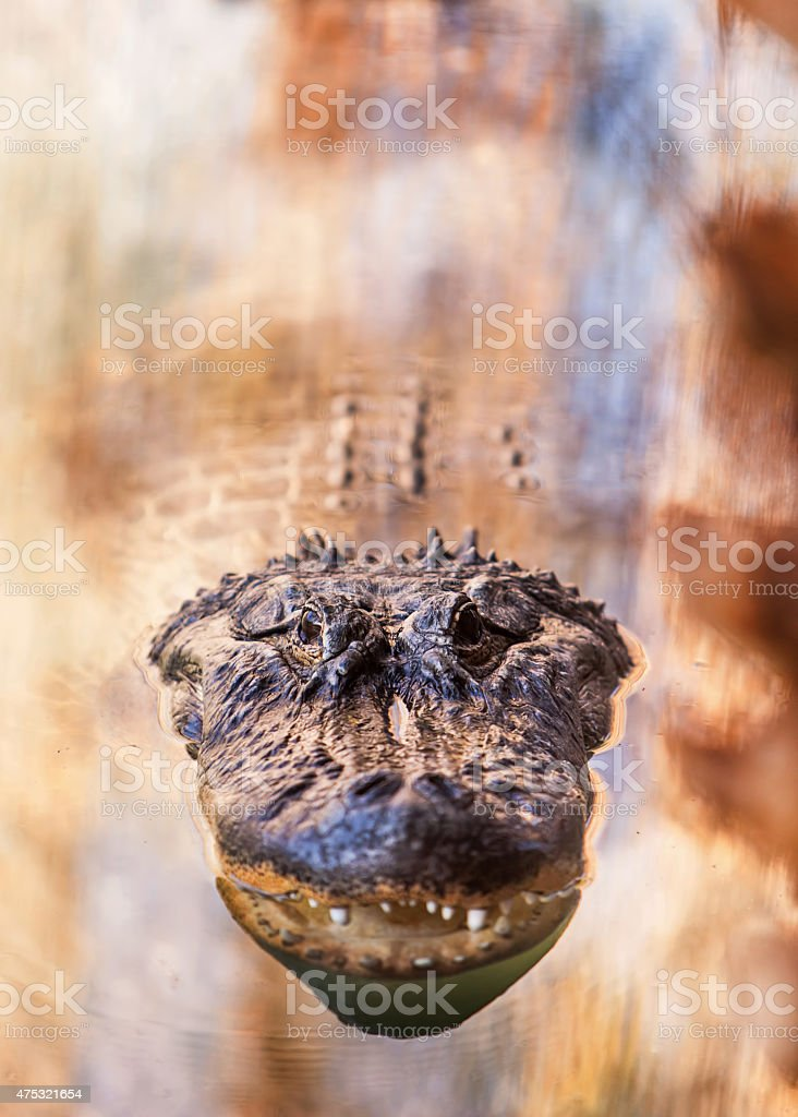 Alligator Floating in Water stock photo