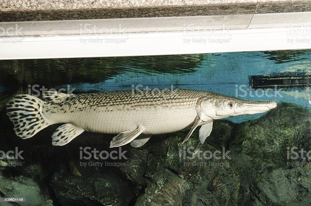 Alligator Gar in Aquarium stock photo