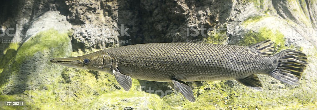 Alligator Gar stock photo