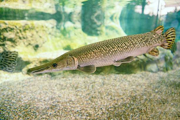 Royalty free alligator gar pictures images and stock for Gar fish pictures