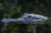 An alligator floats with just its head reflecting on the water