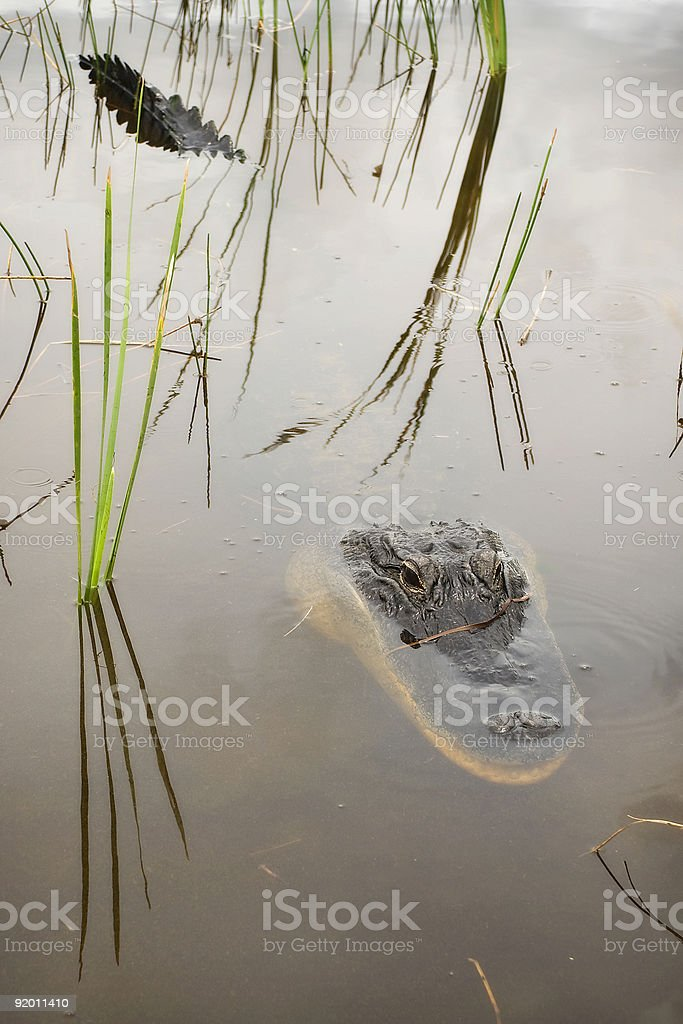 Alligator Head & Tail royalty-free stock photo