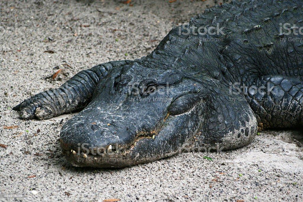 Alligator im Sand – Foto