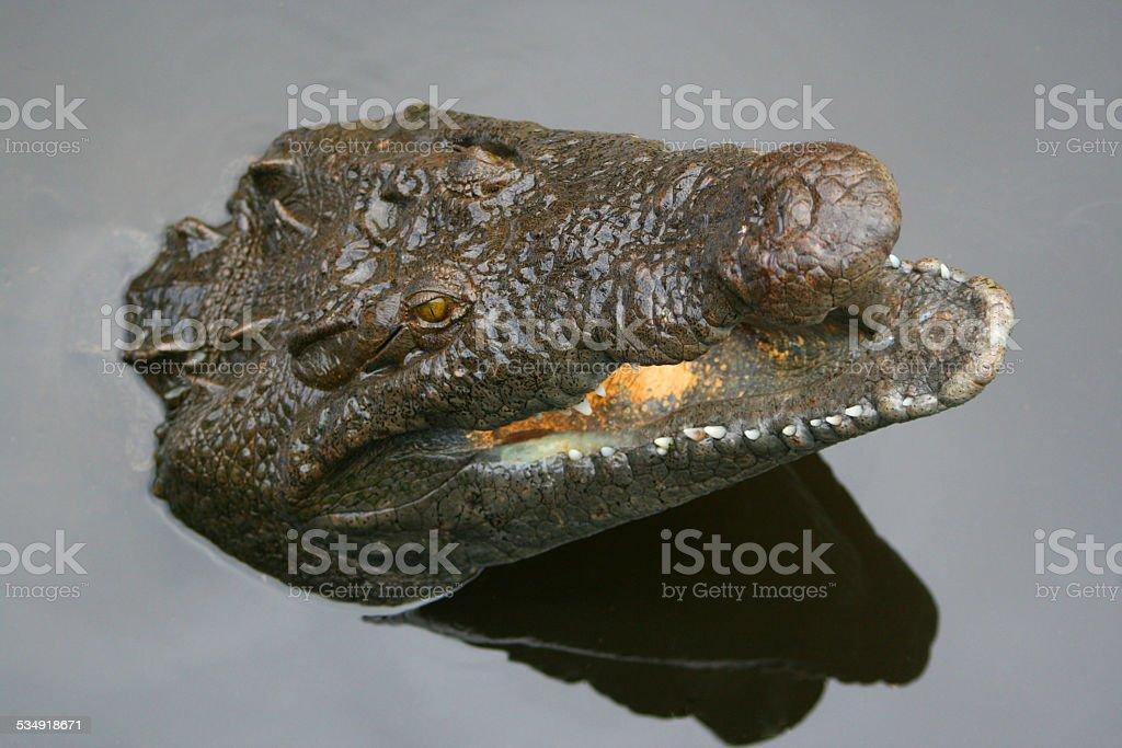 Alligator aquatic bacterium – Foto