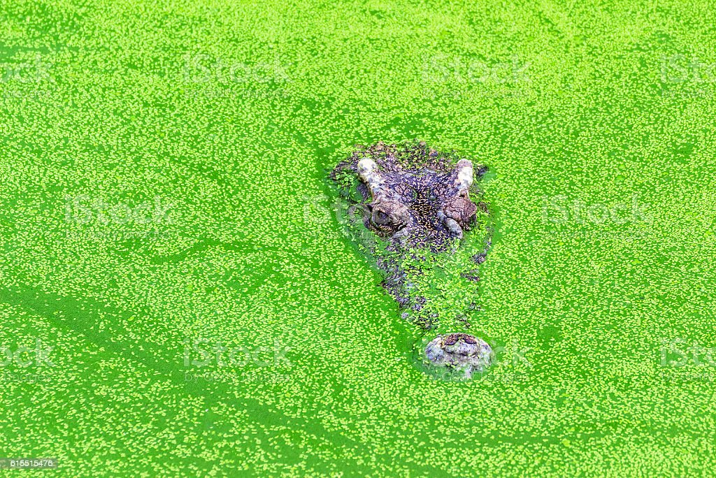 Alligator in a swamp with duckweed. stock photo