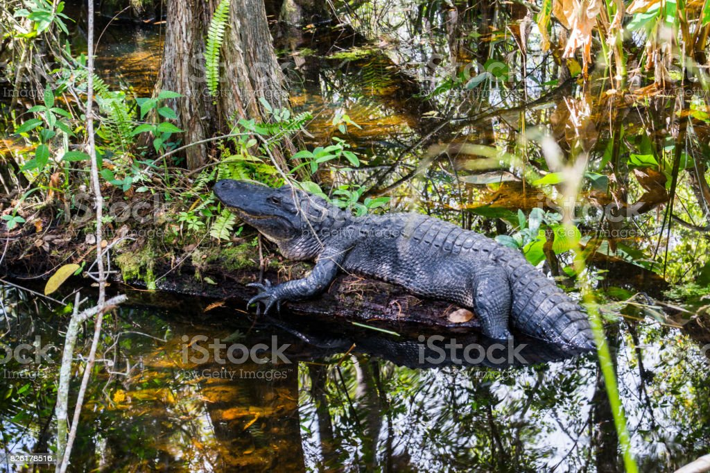Alligator in Everglades National Park, Florida, USA stock photo