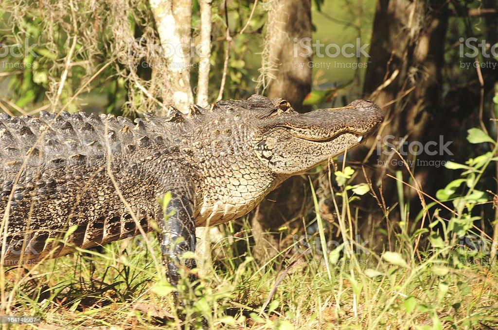Alligator in Florida stock photo