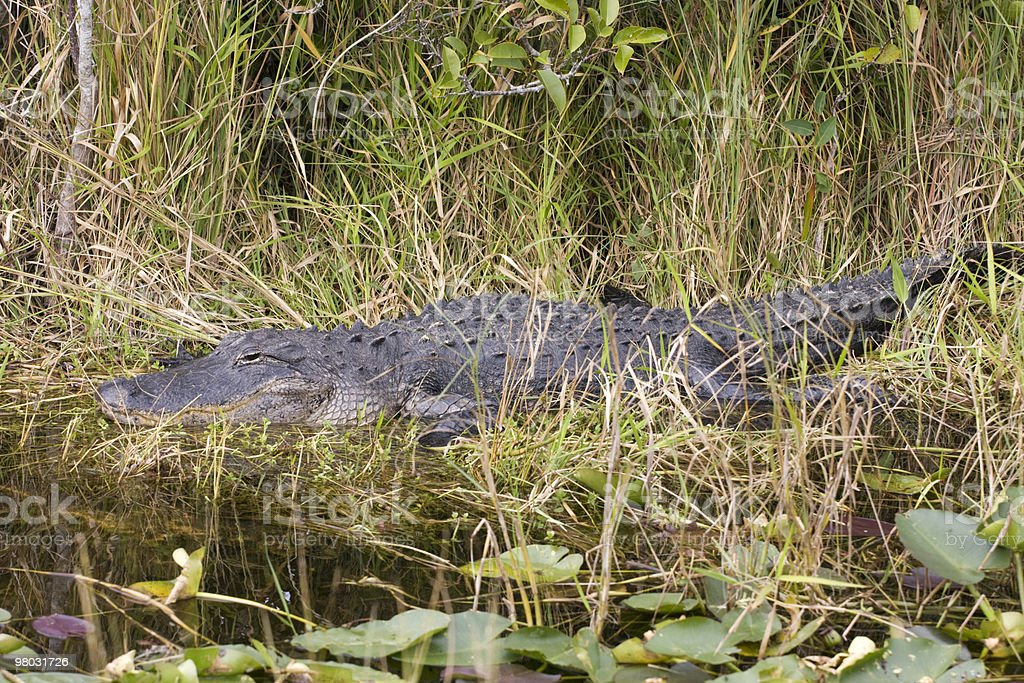 Alligator in his wild habitat royalty-free stock photo