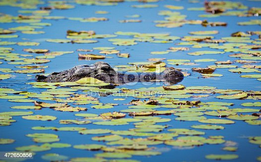 Everglades National Park of Florida, USA. Alligators floating and resting in among the water lili swamp wetland lake. Alligators and numerous wildlife and birds are common residents of the Everglades of Florida, a popular vacation and travel destination for nature and adventure travels. Photographed in horizontal format with copy space.