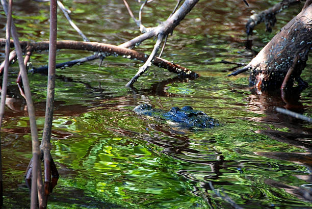 alligator in Mangroven – Foto