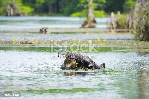 Alligator in Northern Florida