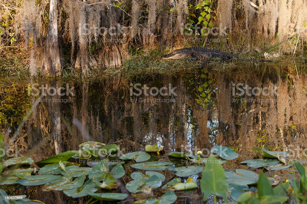 Alligator in the Everglades National Park royalty-free stock photo