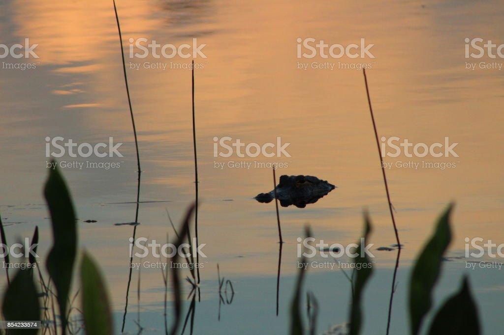 Alligator in the lake stock photo