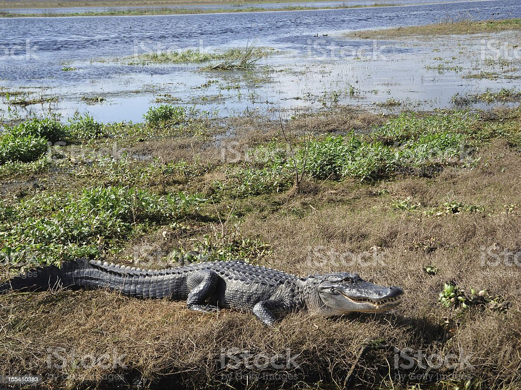 Alligator in the St. Johns River Florida royalty-free stock photo