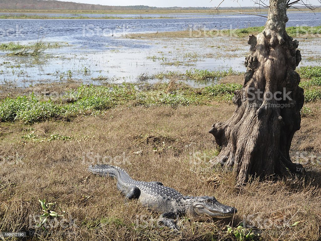 Alligator in the St. Johns River Florida stock photo