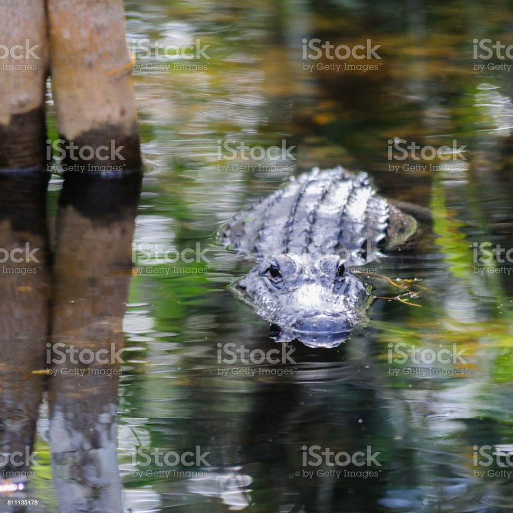 Alligator in the Swamps stock photo