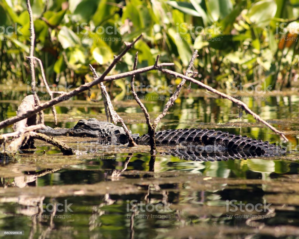 Alligator in the wild royalty-free stock photo