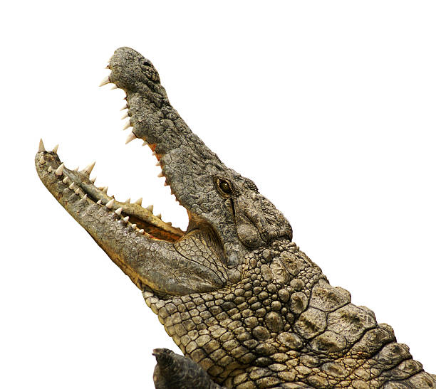 Alligator isolated dangerous alligator with open mouth animal mouth stock pictures, royalty-free photos & images