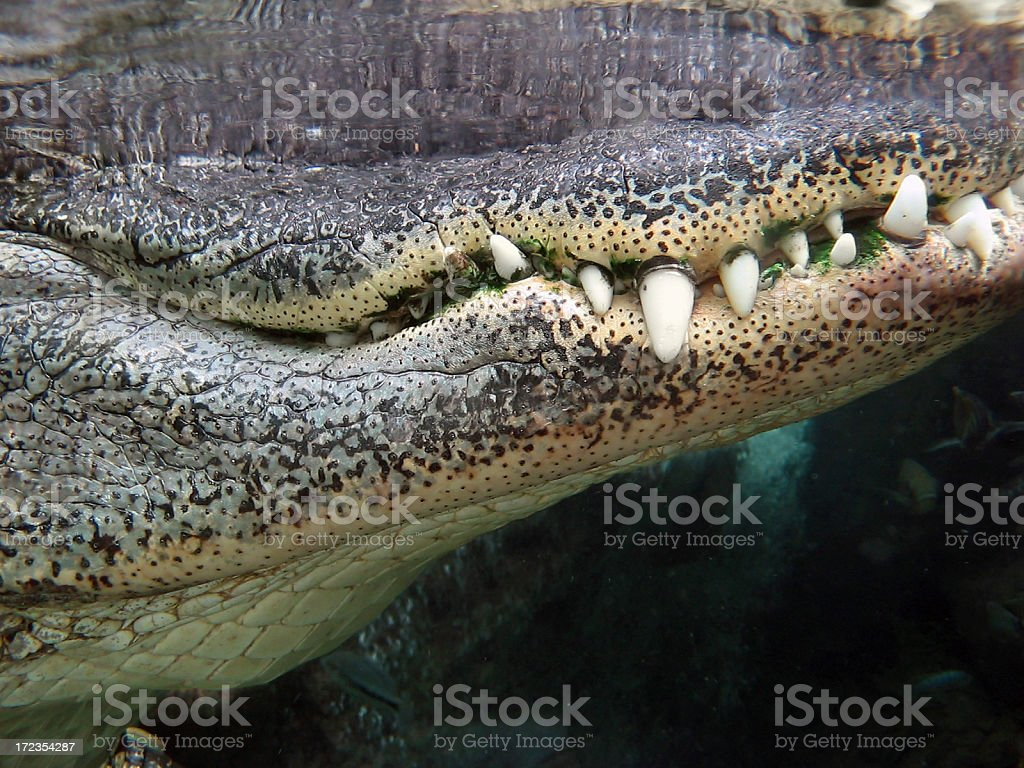 Alligator Jaws royalty-free stock photo