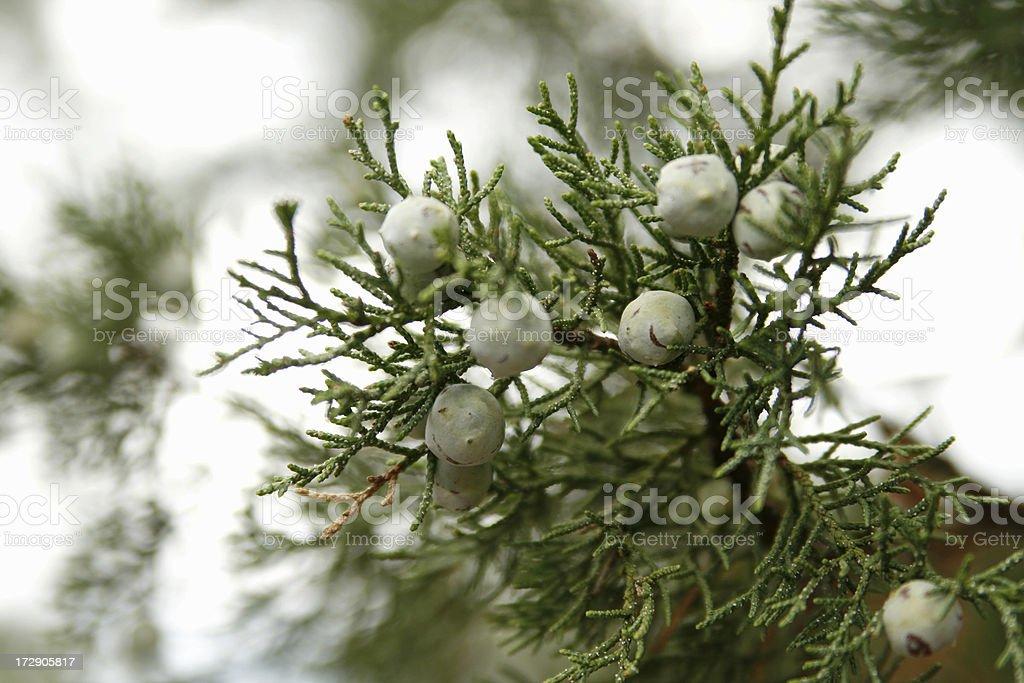 Alligator Juniper Berries (Juniperus Deppeana) stock photo