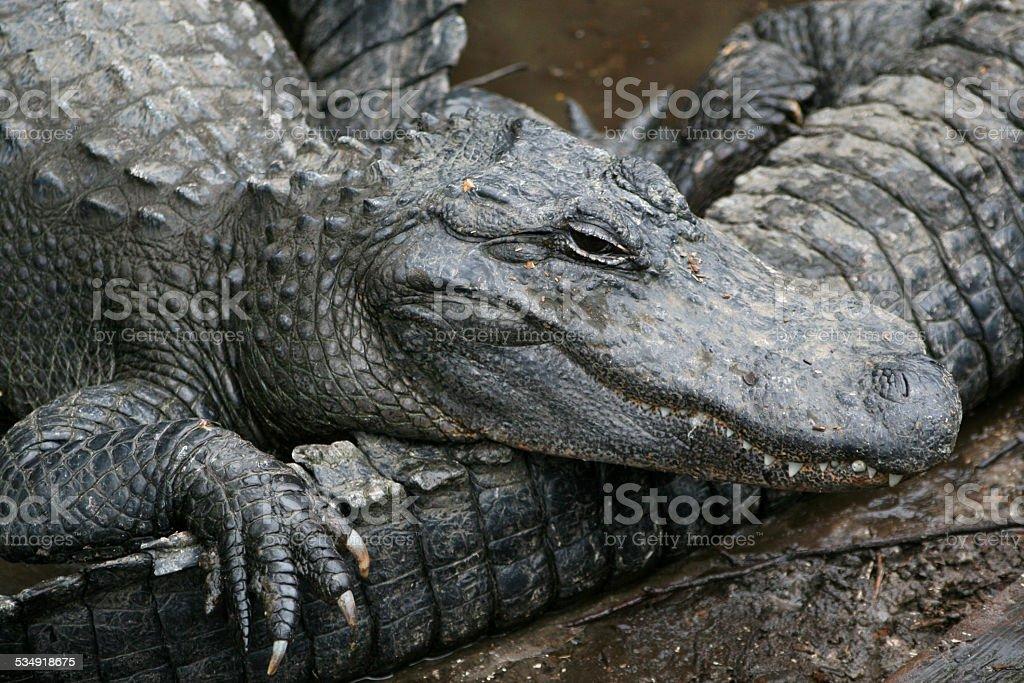 Alligator liegt ganz auf einem anderen – Foto