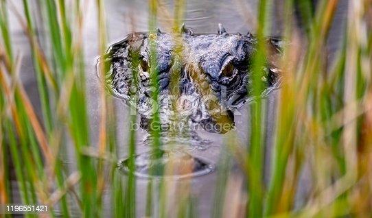 Alligator (Alligator mississippiensis). Big Cypress National Preserve, Florida