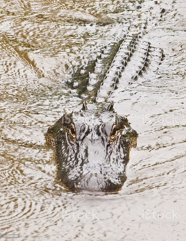 Alligator Lurks Through River royalty-free stock photo
