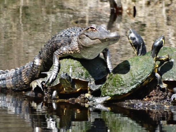 alligator lying on turtles stock photo